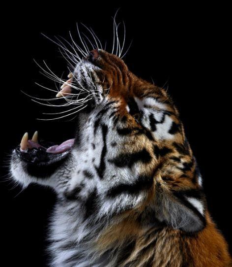 Tiger roar.jpeg